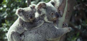 Te iubesc ca un pui de urs Koala!